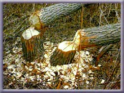 Image result for beaver cut trees